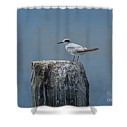 Forster's Tern Shower Curtain by Louise Heusinkveld