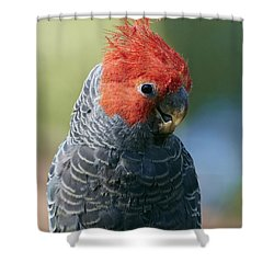 Gang-gang Cockatoo Male Canberra Shower Curtain