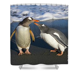 Gentoo Penguin Chick Begging For Food Shower Curtain by Yva Momatiuk and John Eastcott