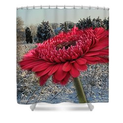 Gerbera Daisy In The Snow Shower Curtain by Trish Tritz