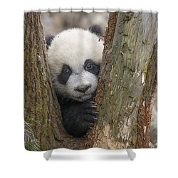 Shower Curtain featuring the photograph Giant Panda Cub Bifengxia Panda Base by Katherine Feng