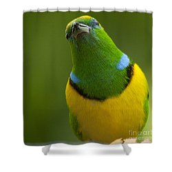 Golden-browed Chlorophonia - Chlorophonia Callophrys Shower Curtain by Heiko Koehrer-Wagner