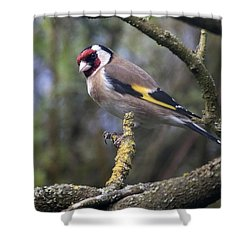 Goldfinch Shower Curtain by Richard Thomas