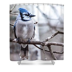 Gorgeous Blue Jay Shower Curtain by Cheryl Baxter