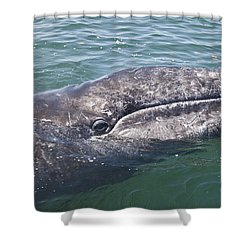 Gray / Grey Whale Eschrichtius Robustus Shower Curtain by Liz Leyden