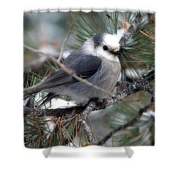 Gray Jay On A Snowy Pine Shower Curtain