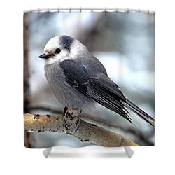 Gray Jay On Aspen Shower Curtain
