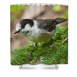 Gray Jay On Fir Tree Shower Curtain