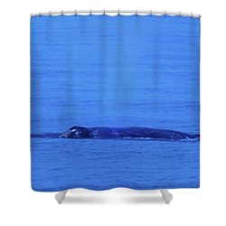 Gray Whalle In Puget Sound  Shower Curtain by Jeff Swan
