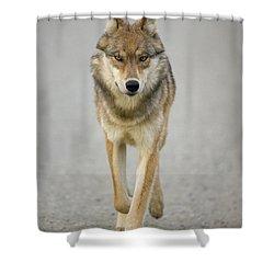 Gray Wolf Denali National Park Alaska Shower Curtain