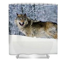 Gray Wolf In Snow, Montana, Usa Shower Curtain