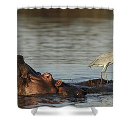 Grey Heron On Hippopotamus Kruger Np Shower Curtain by Perry de Graaf