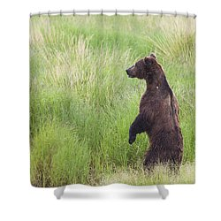 Grizzly Bear Ursus Arctos Standing Shower Curtain by Lucas Payne