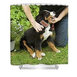 Grooming Bernese Mountain Puppy Shower Curtain by Jean-Michel Labat