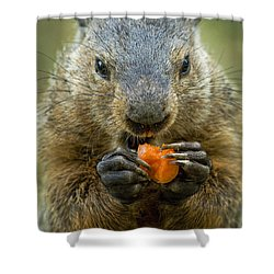 Groundhogs Favorite Snack Shower Curtain by Paul W Faust -  Impressions of Light