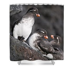 Group Of Parakeet Auklets, St. Paul Shower Curtain by John Gibbens
