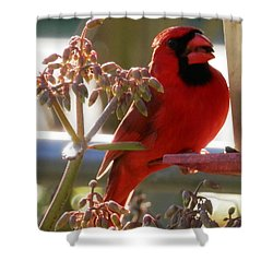 Handsome Red Male Cardinal Visiting Shower Curtain