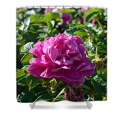 Hansa Rose At Dawn Shower Curtain by Alys Caviness-Gober