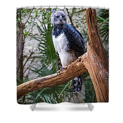 Harpy Eagle Shower Curtain by Ken Stanback