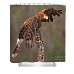 Harris's Hawk 1 Shower Curtain by Jerry Fornarotto