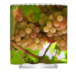 Harvest Time. Sunny Grapes II Shower Curtain by Jenny Rainbow