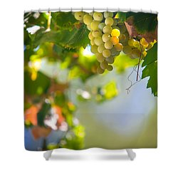 Harvest Time. Sunny Grapes V Shower Curtain by Jenny Rainbow
