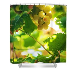 Harvest Time. Sunny Grapes Vii Shower Curtain by Jenny Rainbow