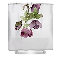 Helleborus Atrorubens Shower Curtain by Sarah Creswell