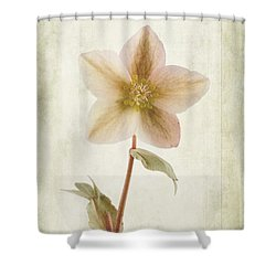 Helleborus Niger Shower Curtain by John Edwards