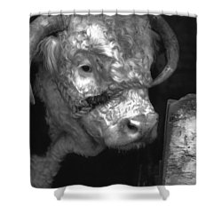 Hereford Bull In Black And White Shower Curtain by Cathy Anderson