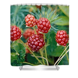 Highbush Blackberry Rubus Allegheniensis Grows Wild In Old Fields And At Roadsides Shower Curtain