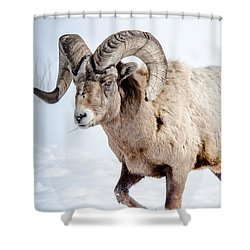 Big Horns On This Big Horn Sheep Shower Curtain