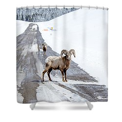 On The Road Again Big Horn Sheep  Shower Curtain