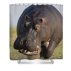 Hippopotamus Bull Charging Botswana Shower Curtain by Vincent Grafhorst