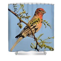 Housefinch 272 Shower Curtain