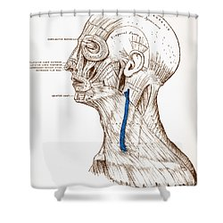 Human Muscular System Shower Curtain by Granger