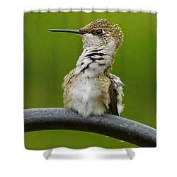 Hummingbird Stretching  Shower Curtain by Alan Hutchins