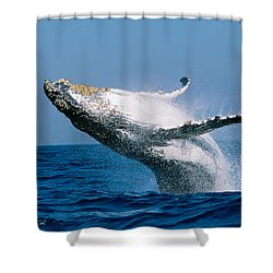 Humpback Whale Megaptera Novaeangliae Shower Curtain by Panoramic Images