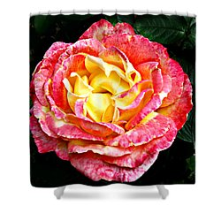 Hybrid Tea Rose ' Love And Peace ' Shower Curtain by William Tanneberger