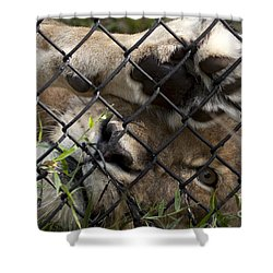I Want To Go Home - Female African Lion Shower Curtain