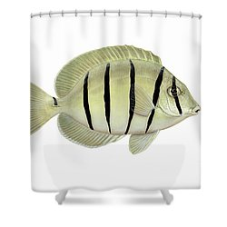Illustration Of A Convict Tang Fish Shower Curtain by Carlyn Iverson
