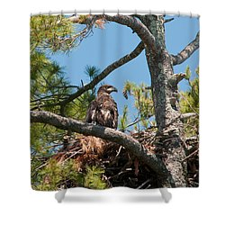 Immature Bald Eagle Shower Curtain by Brenda Jacobs