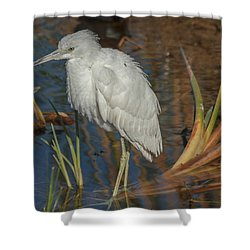 Immature Little Blue Heron Shower Curtain