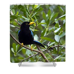 Immature Yucatan Jay Shower Curtain