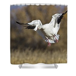 Shower Curtain featuring the photograph Incoming Snow Goose by Bryan Keil