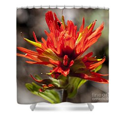 Shower Curtain featuring the photograph Indian Paintbrush by Belinda Greb