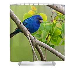 Blue Indigo Bunting Bird  Shower Curtain