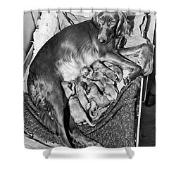 Irish Setter With 12 Puppies Shower Curtain by Underwood Archives