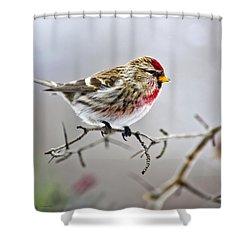 Irruptive Bird Common Redpoll Shower Curtain by Christina Rollo