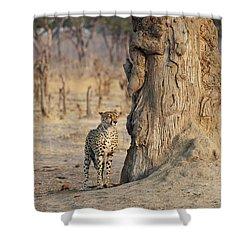 Jaguar In Hwange National Park Shower Curtain by BC Imaging